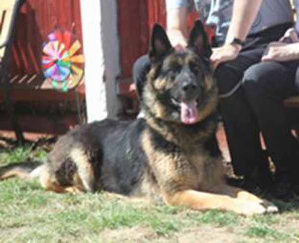 ben gsd looking for a new home