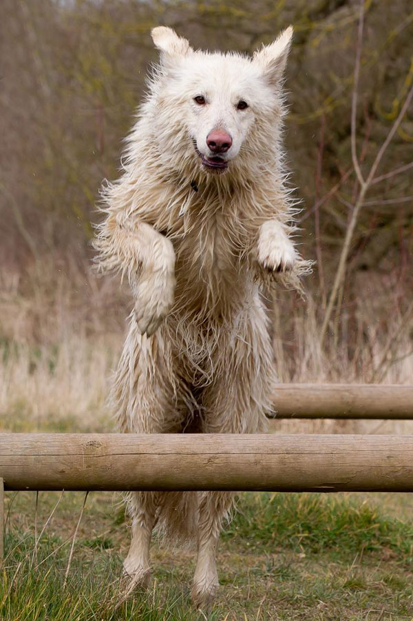 white german shepherd jumping over a log