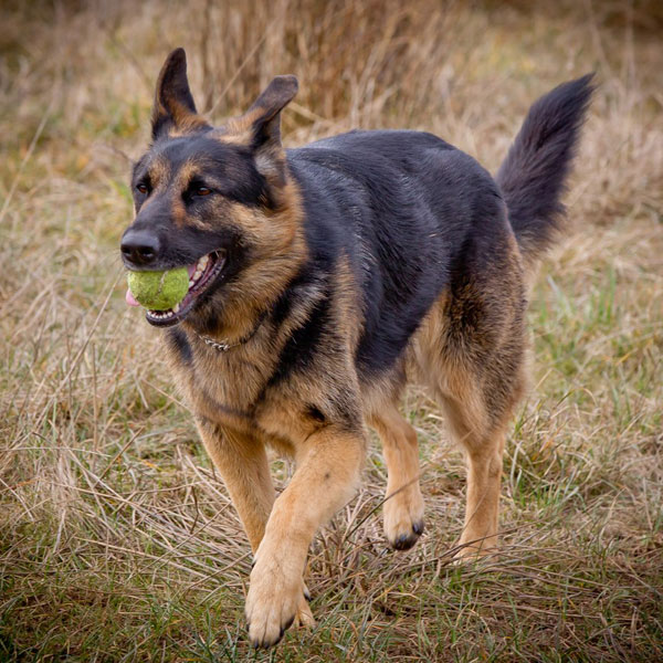 german shepherd with a ball in his mouth