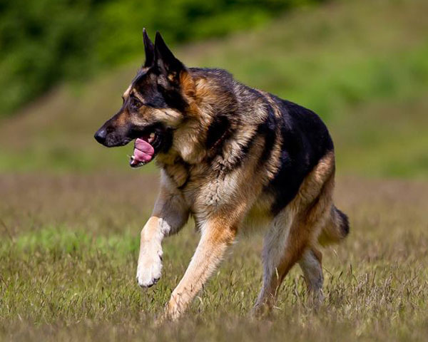 german shepherd enjoying a run