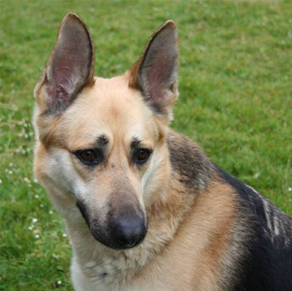 patch german shepherd dog