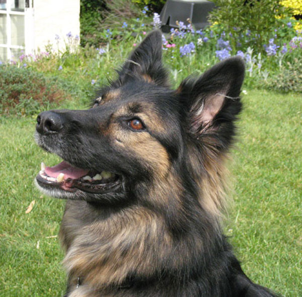 pepper german shepherd looking for a home
